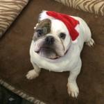 Christmas for Otis at Matthews Kennels