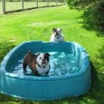 Molly & Otis pool time at Matthews Kennels