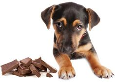 Dogs and Chocolate ... not a good mix!